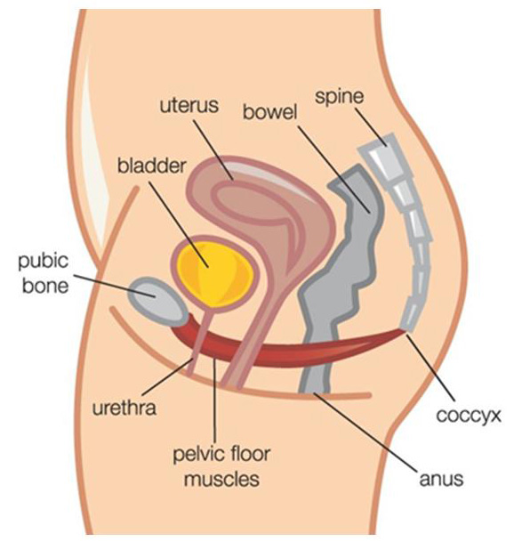 female pelvic floor